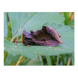 Looper Moth ~ postcard