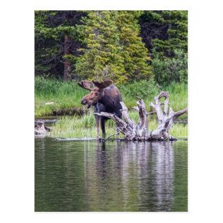 Loose Moose Postcard