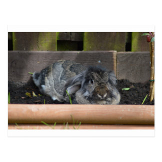 Lop eared rabbit postcard