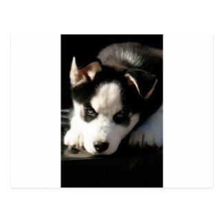 Lop Eared Siberian Husky Sled Dog Puppy 2 Postcard