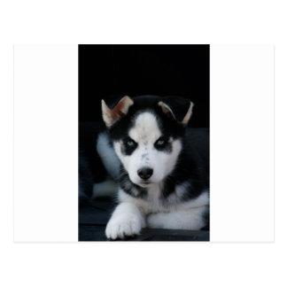 Lop Eared Siberian Husky Sled Dog Puppy Postcard
