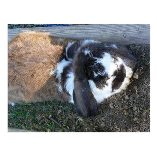 Lop earred Bunny Postcard