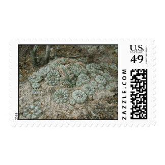 Lophophora williamsii - Peyote Stamp