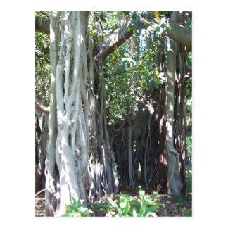 Lord Howe Island Fig Postcard