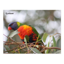 Lorikeet bird postcard