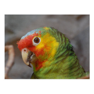 Loro del Amazonas Postal