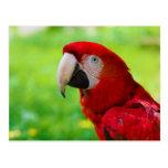 Loro del americano de Macao del Ara del Macaw del  Tarjeta Postal