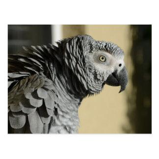 Loro del gris africano de Congo con las plumas Tarjeta Postal
