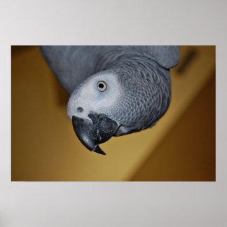 Loro del gris africano de Congo hola Póster