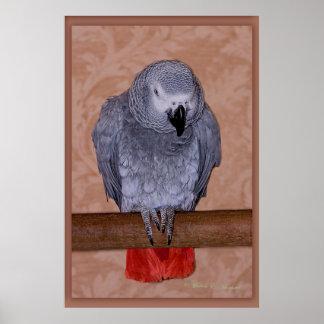 Loro del gris africano poster