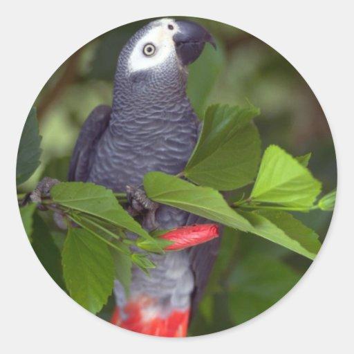 Loro del gris africano pegatina redonda