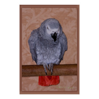 Loro del gris africano póster