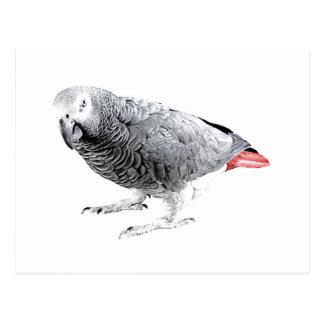 """Loro del """"gris africano"""" tarjetas postales"""