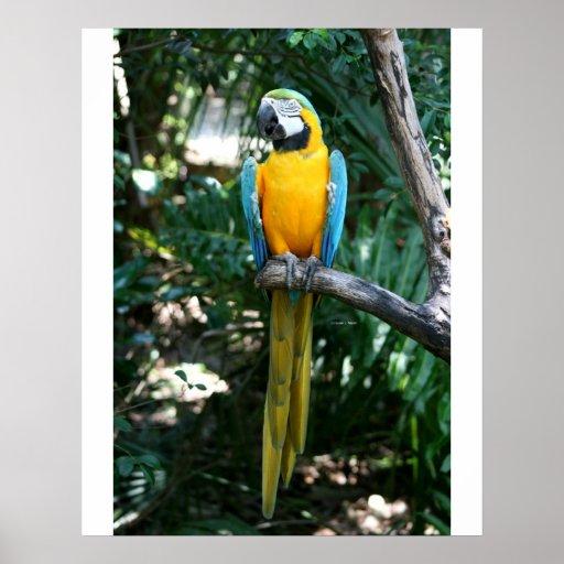 Loro del macaw del azul y del oro contra árboles v posters