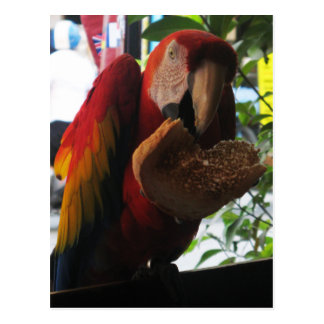 Loro del Macaw del escarlata que come la tostada
