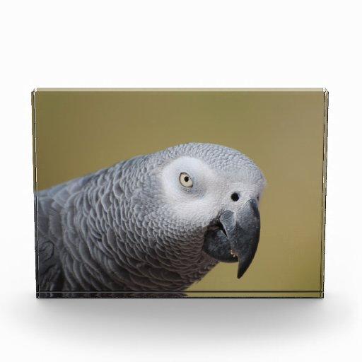 Loro gris bonito