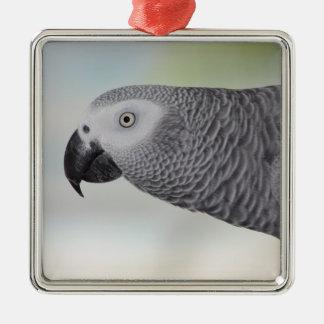 Loro magnífico del gris africano adorno cuadrado plateado