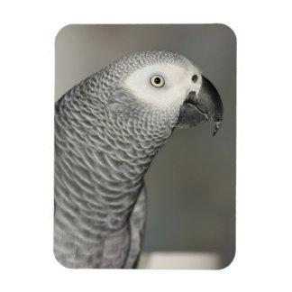 Loro majestuoso del gris africano imán rectangular