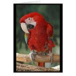 Loro rojo lindo del Macaw cuaesquiera tarjetas de