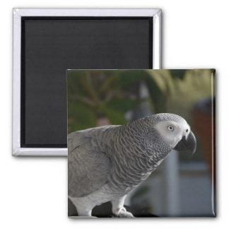 Loro sereno del gris africano imán cuadrado