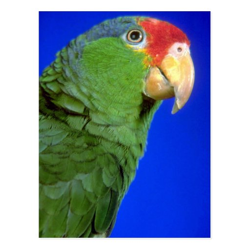 Loro verde de Cheeked el Amazonas Tarjeta Postal
