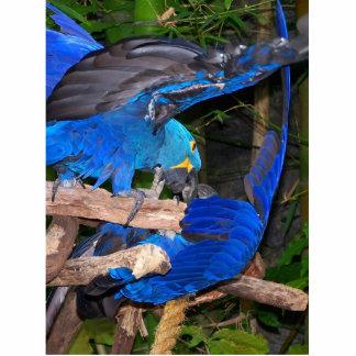 Loros azules del macaw que luchan la imagen de la  esculturas fotográficas