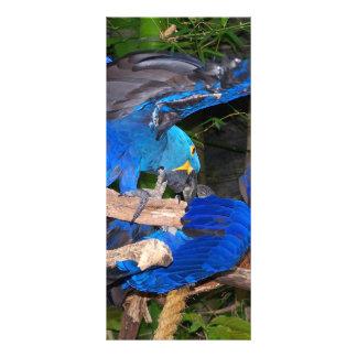 """Loros azules del macaw que luchan la imagen de la  folleto publicitario 4"""" x 9"""""""
