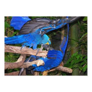 """Loros azules del macaw que luchan la imagen de la invitación 5"""" x 7"""""""