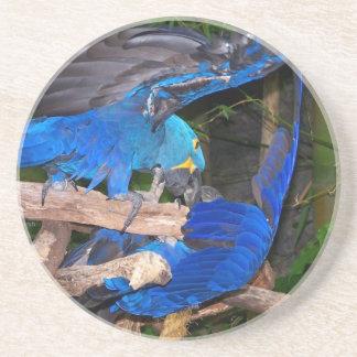 Loros azules del macaw que luchan la imagen de la  posavasos cerveza