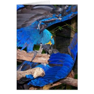 Loros azules del macaw que luchan la imagen de la tarjeta pequeña
