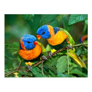 Loros coloridos tarjeta postal