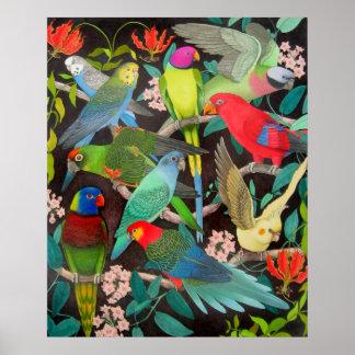 Loros y poster coloridos de los Parakeets Póster