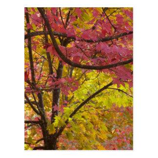 Los árboles de arce exhiben verde rojo vibrante tarjeta postal
