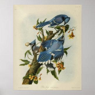 Los arrendajos azules de Audubon Póster