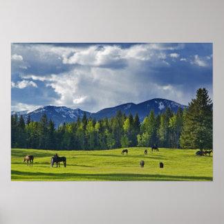 Los caballos pastan en pasto cerca del pescado bla posters