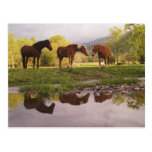 Los caballos reflejaron en la pequeña corriente, e tarjetas postales