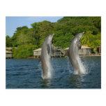 Los delfínes que saltan, Roatan, islas de la bahía Tarjetas Postales