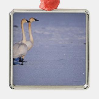 Los E E U U Alaska adultos del cisne que silba Ornamentos De Reyes