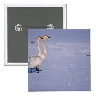 Los E.E.U.U., Alaska, adultos del cisne que silba, Pin Cuadrada 5 Cm