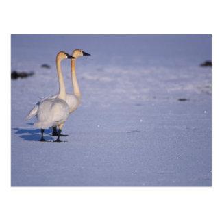 Los E.E.U.U., Alaska, adultos del cisne que silba, Postal