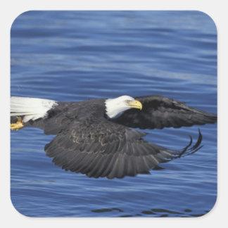 Los E.E.U.U., Alaska, águila calva de la península Pegatina Cuadrada