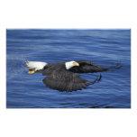 Los E.E.U.U., Alaska, águila calva de la península Cojinete