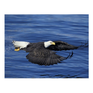 Los E.E.U.U., Alaska, águila calva de la península Postal