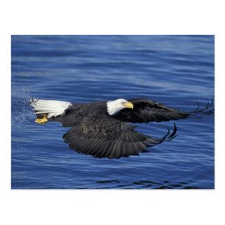 Los E.E.U.U., Alaska, águila calva de la península Tarjeta Postal