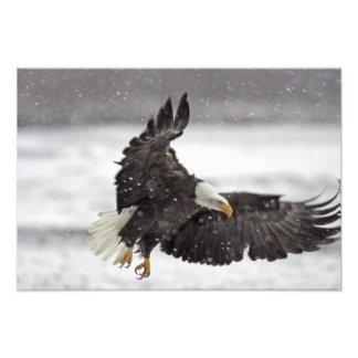 Los E.E.U.U., Alaska, Alaska Chilkat Eagle calvo Fotografía