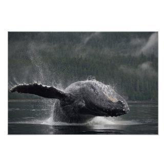 Los E.E.U.U., Alaska, Angoon, Megaptera 2 de la ba Fotografías