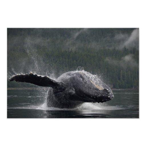 Los E.E.U.U., Alaska, Angoon, Megaptera 2 de la ba Arte Fotográfico