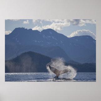 Los E.E.U.U., Alaska, Angoon, Megaptera 3 de la ba Póster