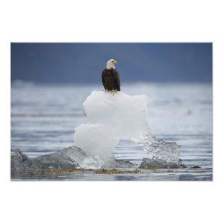 Los E.E.U.U., Alaska, bahía de Holkham, Eagle calv Fotografia