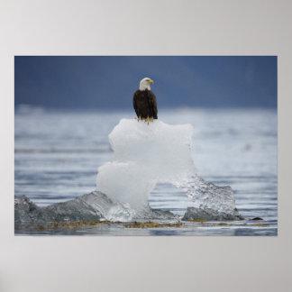 Los E.E.U.U., Alaska, bahía de Holkham, Eagle calv Póster